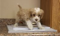 Cockapoo Puppies for sale in Malad City, ID 83252, USA. price: NA
