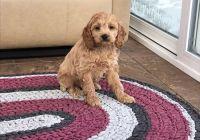 Cockapoo Puppies for sale in Centreville, VA, USA. price: NA