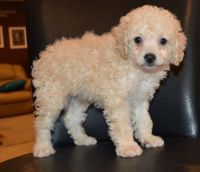 Cockapoo Puppies for sale in Warrendale, PA, USA. price: NA