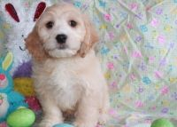 Cockapoo Puppies for sale in Jackson, MS, USA. price: NA