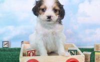 Cockapoo Puppies for sale in Flint, MI, USA. price: NA