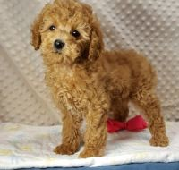 Cockapoo Puppies for sale in Russell Springs, KY 42642, USA. price: NA