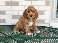 Cockapoo Puppies for sale in Frisco, TX, USA. price: NA