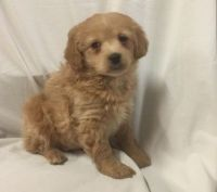 Cockapoo Puppies for sale in Thomaston Ave, Waterbury, CT, USA. price: NA