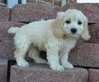Cockapoo Puppies for sale in New Orleans, LA 70116, USA. price: NA