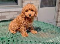 Cockapoo Puppies for sale in Seattle, WA, USA. price: NA