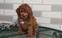 Cockapoo Puppies for sale in Montevallo, AL 35115, USA. price: NA