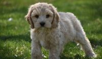 Cockapoo Puppies for sale in Detroit, MI 48216, USA. price: NA