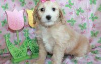 Cockapoo Puppies for sale in Richmond, VA, USA. price: NA
