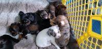 Cockapoo Puppies for sale in Puyallup, WA, USA. price: NA