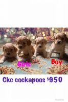 Cockapoo Puppies for sale in Whitley City, KY 42653, USA. price: NA