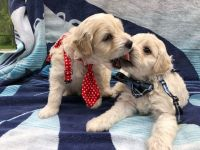 Cockapoo Puppies for sale in 377 Aspen Leaf Dr, Jacksonville, FL 32256, USA. price: NA