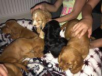 Cockapoo Puppies for sale in Bainbridge Island, WA, USA. price: NA