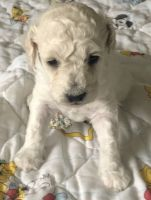 Cockapoo Puppies for sale in Oswego, NY, USA. price: NA