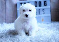 Cockapoo Puppies for sale in Orange County, CA, USA. price: NA