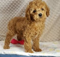 Cockapoo Puppies for sale in San Diego, CA, USA. price: NA