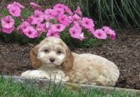 Cockapoo Puppies for sale in Edgartown, MA, USA. price: NA