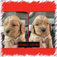 Cockapoo Puppies for sale in Terre Haute, IN, USA. price: NA