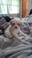 Cockapoo Puppies for sale in Conroe, TX, USA. price: NA