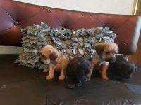 Cockapoo Puppies for sale in 7855 Deer Springs Way, Las Vegas, NV 89131, USA. price: NA