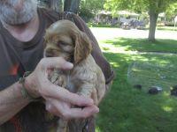 Cockapoo Puppies for sale in Swartz Creek, MI, USA. price: NA