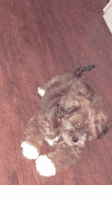 Cockapoo Puppies for sale in Philadelphia, PA, USA. price: NA