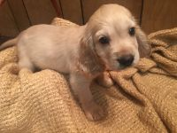 Cockapoo Puppies for sale in Lake Elsinore, CA, USA. price: NA