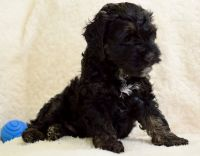 Cockapoo Puppies for sale in Springfield, MA, USA. price: NA