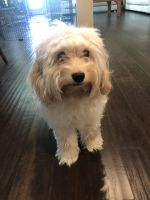 Cockapoo Puppies for sale in Middletown, DE, USA. price: NA