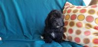 Cockapoo Puppies for sale in Canton, OH, USA. price: NA