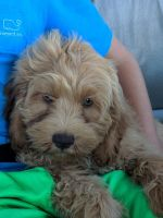 Cockapoo Puppies for sale in Tulsa, OK, USA. price: NA