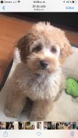 Cockapoo Puppies for sale in Pawtucket, RI 02860, USA. price: NA