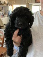 Cockapoo Puppies for sale in Phoenix, AZ, USA. price: NA