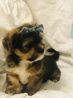 Cockapoo Puppies for sale in Wonder Lake, IL, USA. price: NA