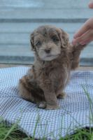 Cockapoo Puppies for sale in Bedford, IA 50833, USA. price: NA