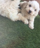 Cockapoo Puppies for sale in Los Angeles, CA, USA. price: NA