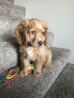 Cockapoo Puppies for sale in St. George, UT, USA. price: NA
