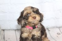 Cockapoo Puppies for sale in Fayetteville, NC, USA. price: NA