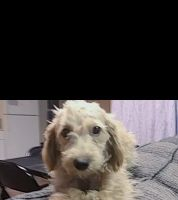 Cockapoo Puppies for sale in Stratford, CT, USA. price: NA