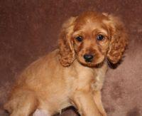 Cockapoo Puppies for sale in Edwardsburg, MI 49112, USA. price: NA