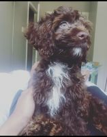 Cockapoo Puppies for sale in Silver Spring, MD, USA. price: NA
