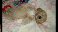 Cockapoo Puppies for sale in Anderson, SC, USA. price: NA