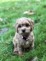 Cockapoo Puppies for sale in Snohomish, WA 98296, USA. price: NA