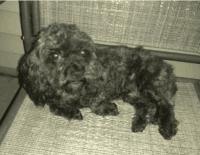 Cockapoo Puppies for sale in Zion, IL 60099, USA. price: NA