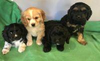 Cockapoo Puppies for sale in Culpeper, VA 22701, USA. price: NA