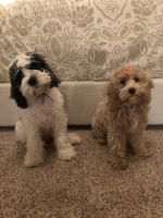 Cockapoo Puppies for sale in 12108 Woodside Falls Rd, Pineville, NC 28134, USA. price: NA