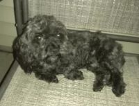 Cockapoo Puppies for sale in Clarksville, TN 37040, USA. price: NA