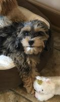 Cockapoo Puppies for sale in Kathleen, GA 31047, USA. price: NA