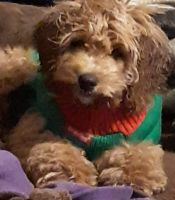 Cockapoo Puppies for sale in Chambersburg, PA, USA. price: NA