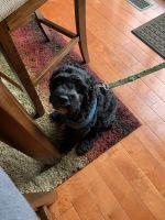 Cockapoo Puppies for sale in Merrillville, IN, USA. price: NA